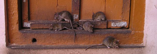 najezda miševa