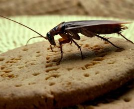 Dezinsekcija žohara