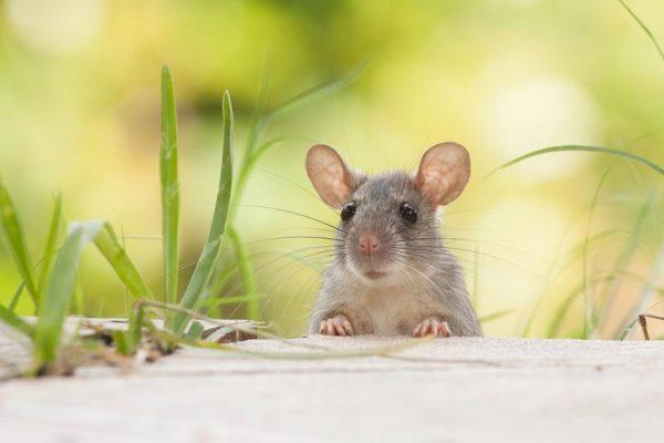 I Dok Od Korone Mnogi Bježe U Prirodu, Tamo Vreba Nova Epidemija – Mišja Groznica